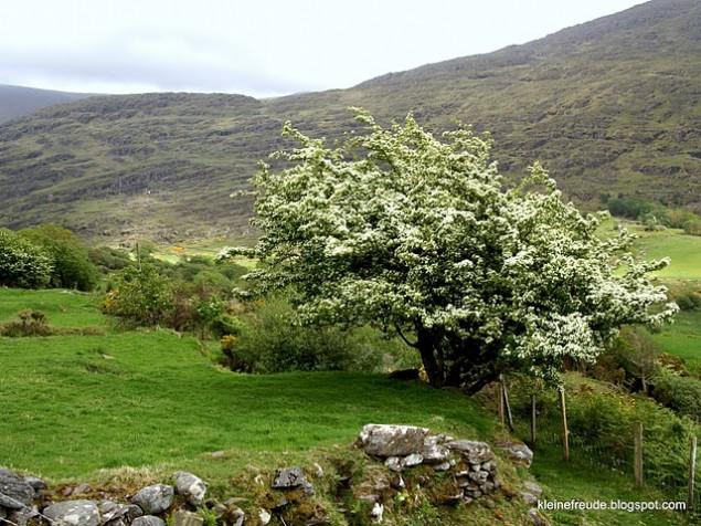 Weißdorn in Irland