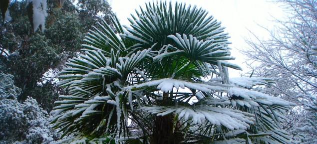 Schnee der auf Palmen faellt