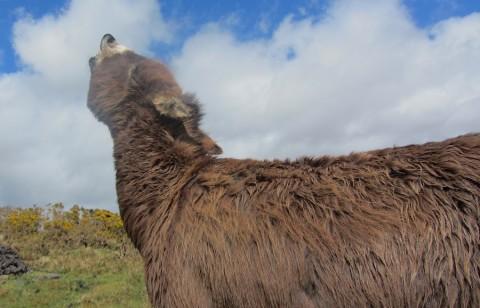 Irischer Esel