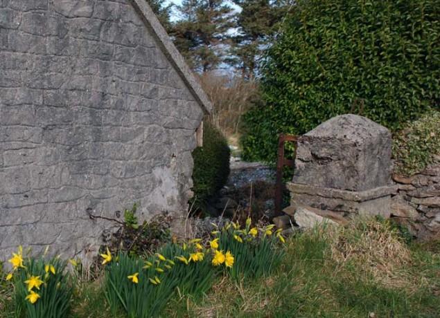 Narzissen_Irland_Cottage