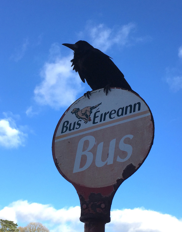 Rook waiting for Bus Eireann