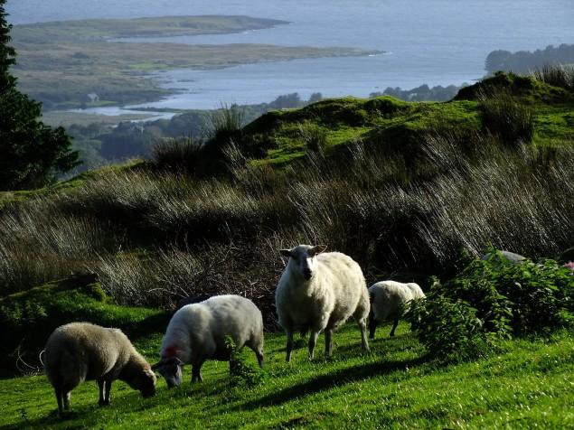 Hier wandern wir - Wandern mit Wanderlust - Schafe am Sugar Loaf