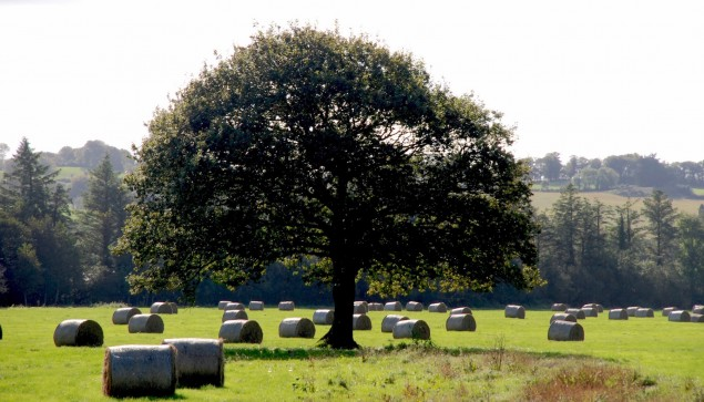 Bäume Irland