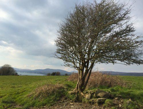 Irish Cillin: Anonym begraben am Weißdorn