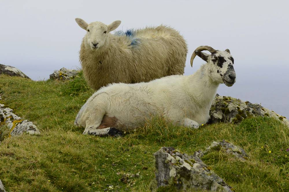 Irland Wanderlust Schafe