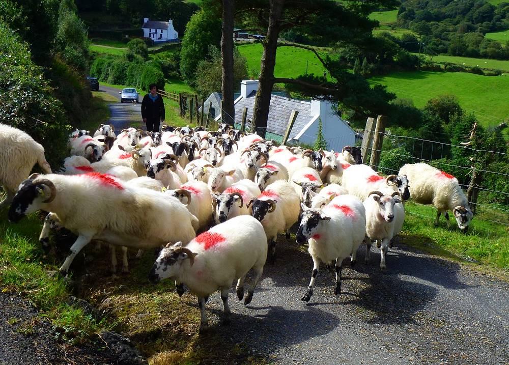 Wanderlust Irland Schaf-Begegnung
