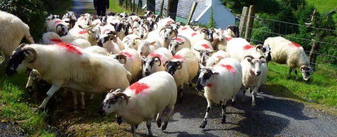 Irland Wanderlust Wandern Schafherde