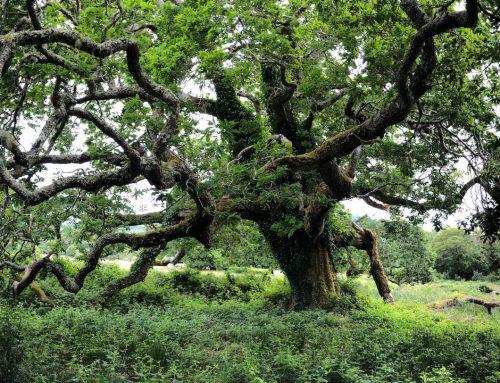 Irlands Natur hautnah: Unter der uralten Eiche