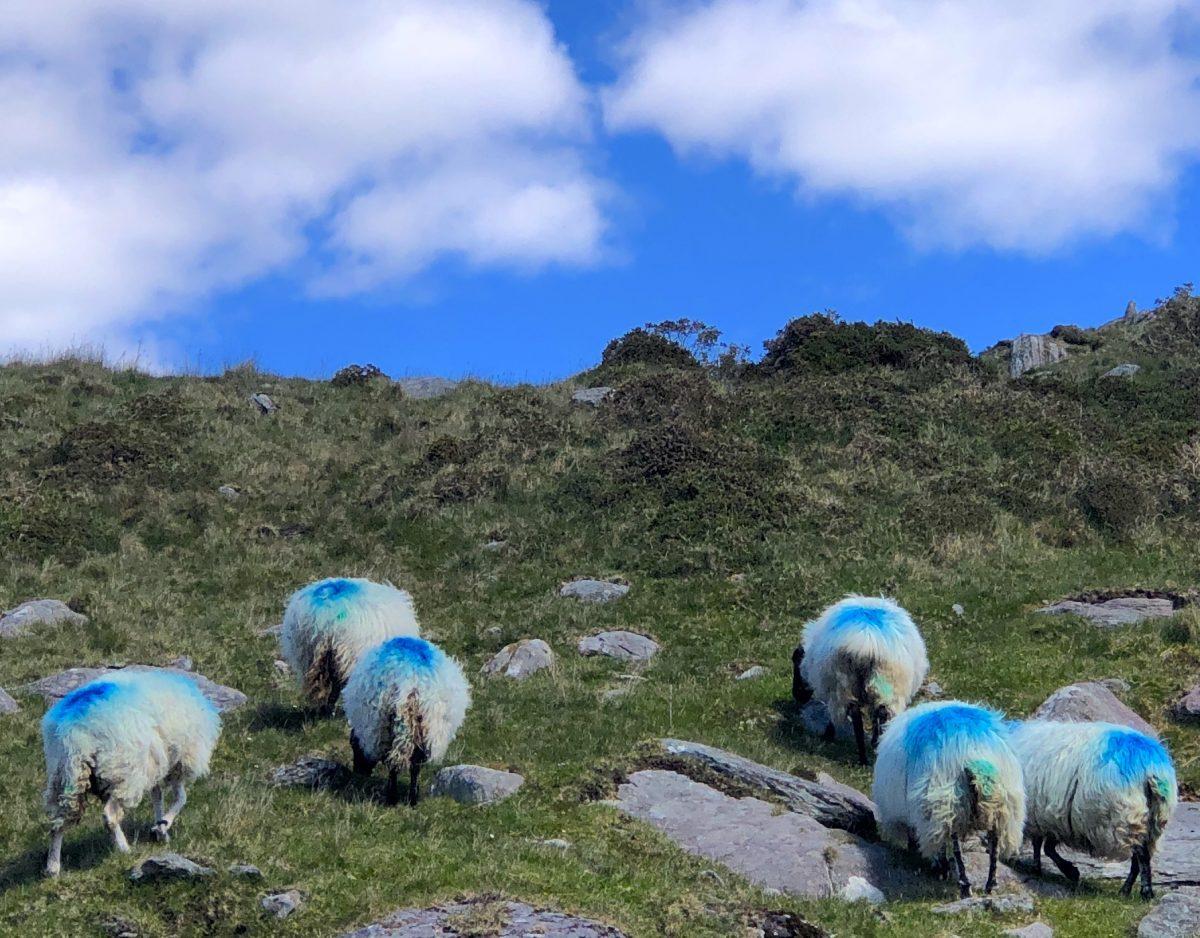 Irland Schafe