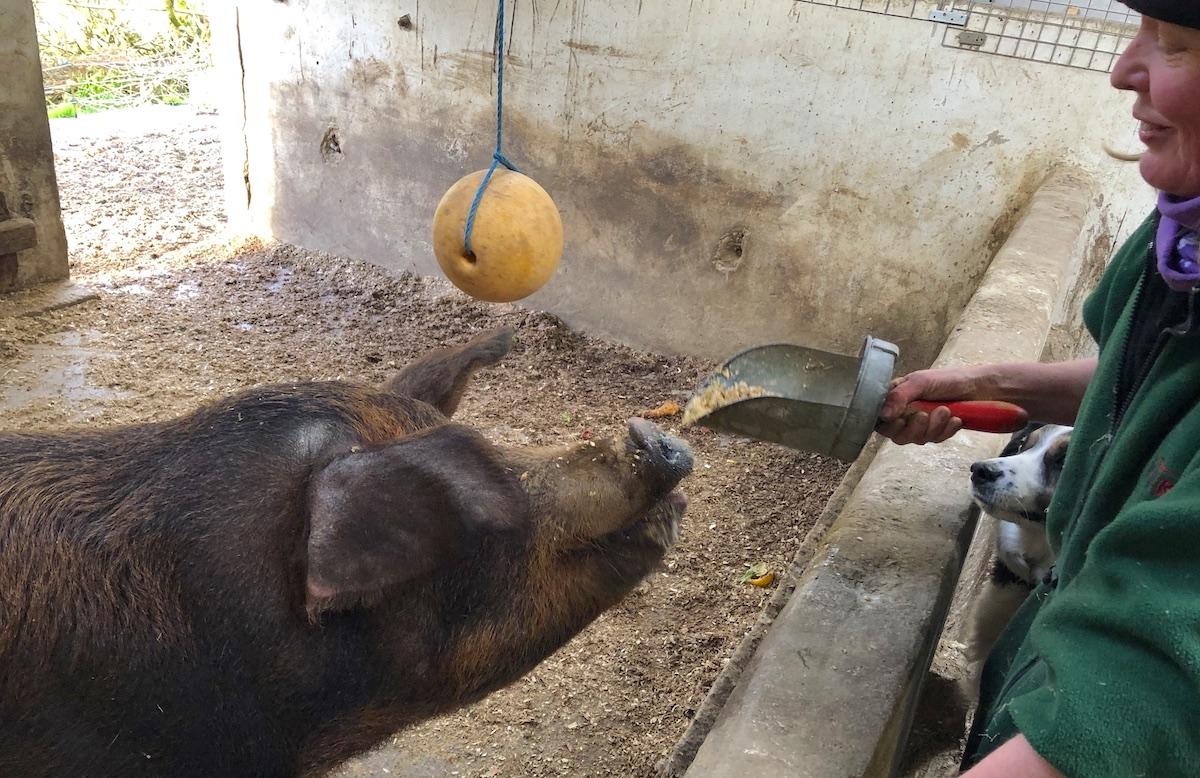 Irland Schweine