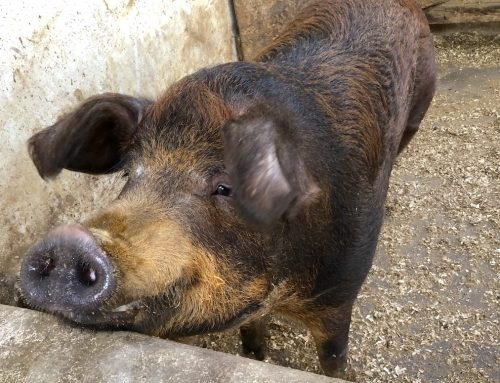 Brownie das Schwein lebt. Wir sagen Danke!