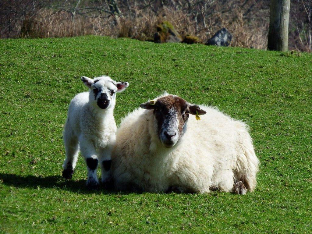 Schaf Irland