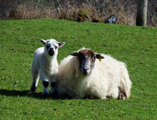 Die Schafe und wir: Irland in Zeiten von Corona