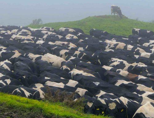 Tiere essen: Irish Beef von monsantogrünen Wiesen