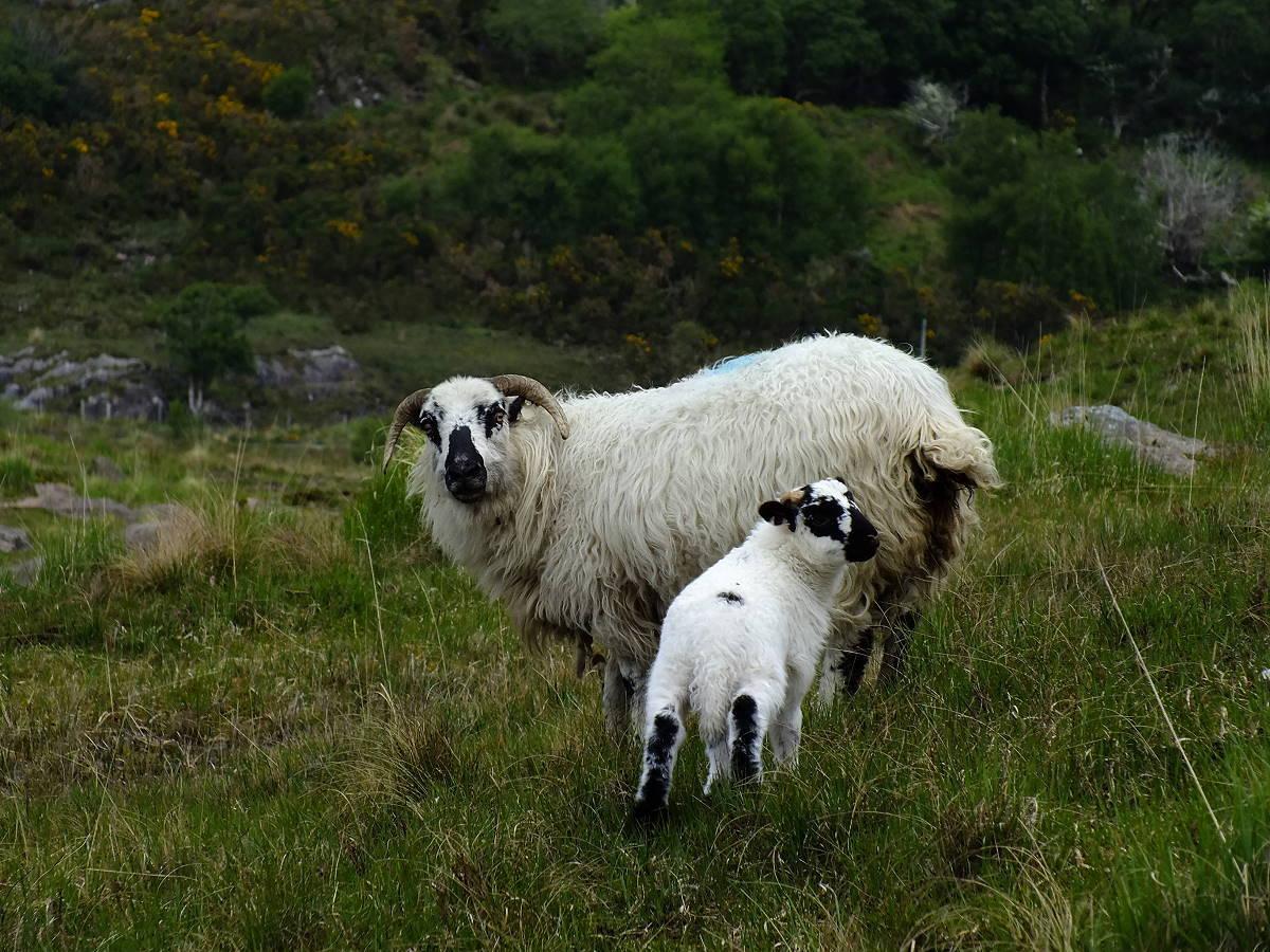 Irlandnews Schafe Healy Pass