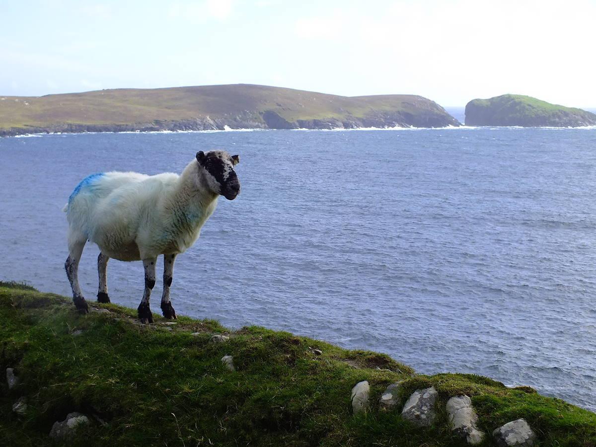 Irlandnews Schaf auf Dursey Island