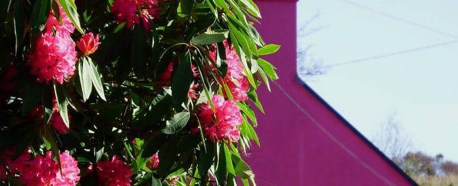Irlandnews Foto-Blog, Rhododendron, Gartenreisen Südwest Irland