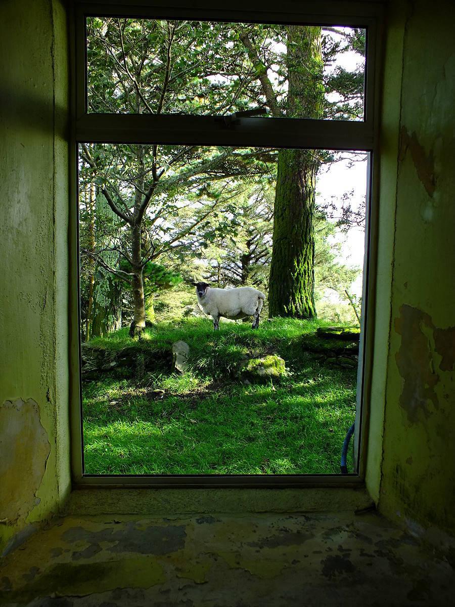 Irlandnews Schaf am Fenster