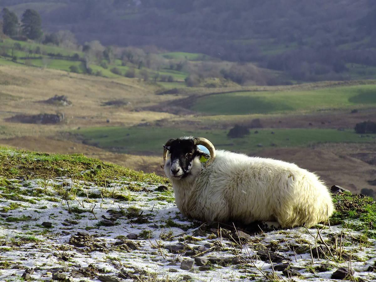 Irlandnews Schaf im Winter