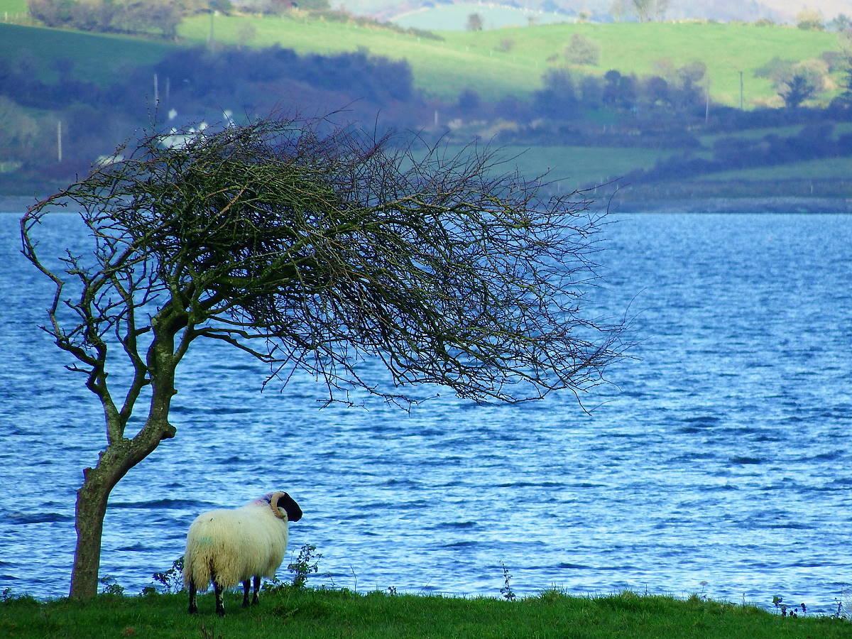 Irlandnews Schaf Windflüchter Sheeps Head