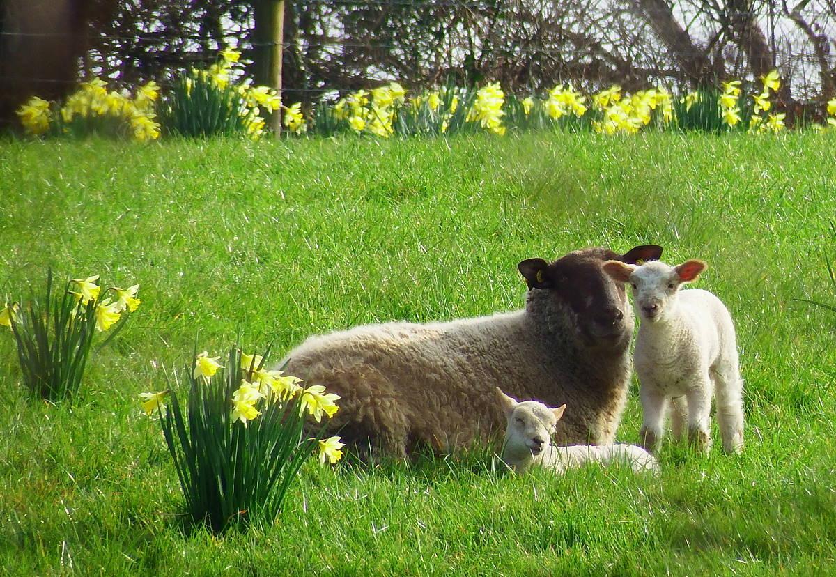 Irlandnews Schafe und Narzissen