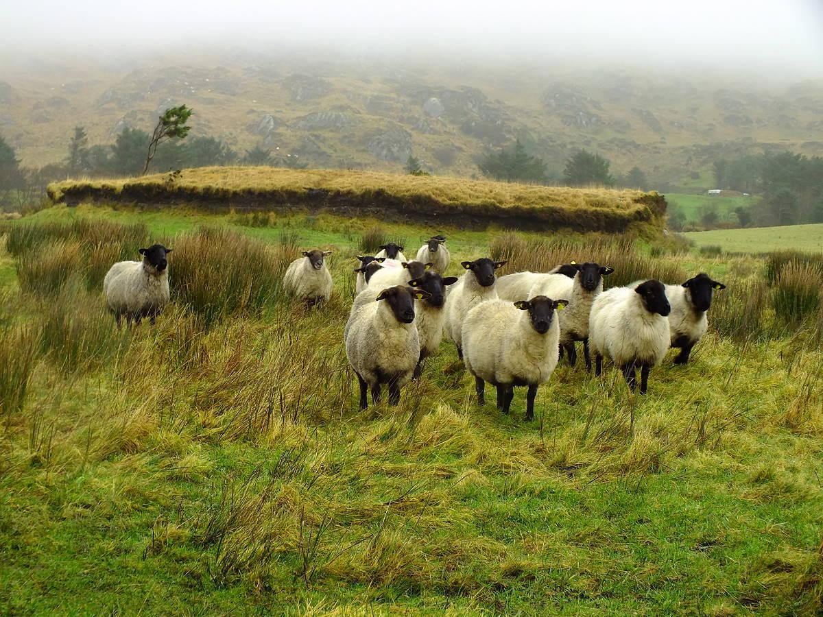 Irlandnews neugierige Schafe