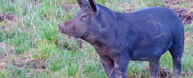 Veganuary Schwein